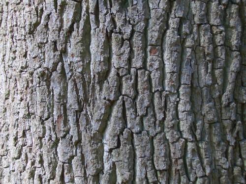 Acorns  English Oak ba...