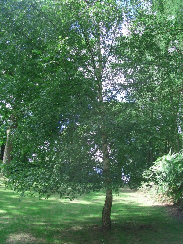 Silver birch betula pendula for Silver birch trees for small gardens