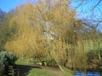 Weeping Willow - Salix x chrysocoma