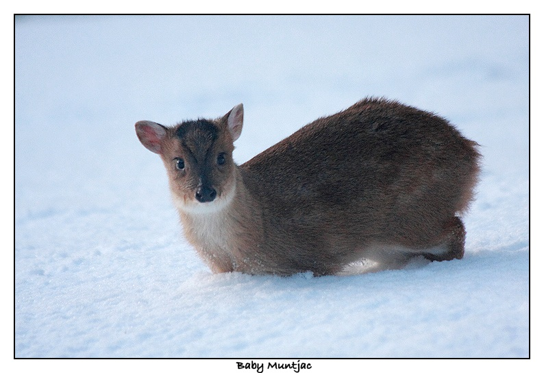 Muntjac fawn in the snow - Muntiacus reevesi