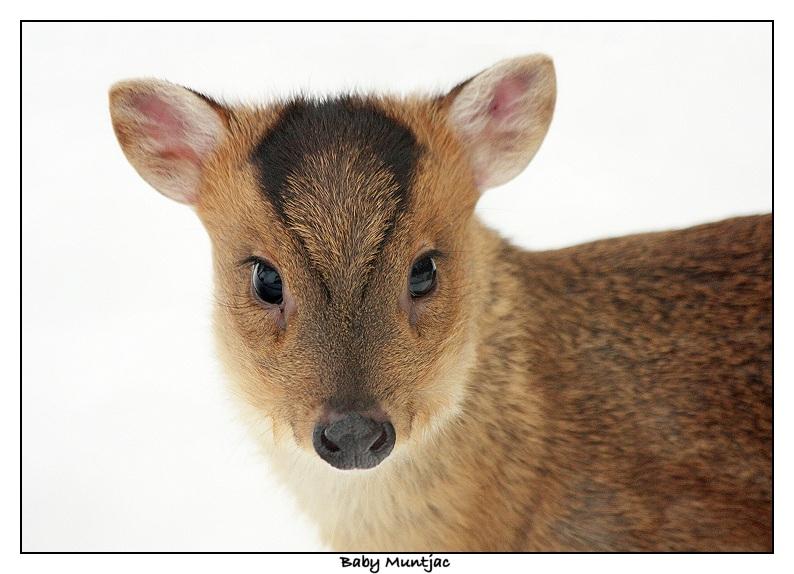 Muntjac fawn - Muntiacus reevesi