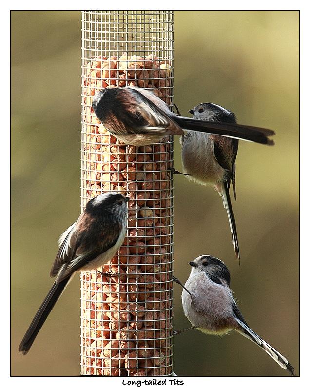 Long-tailed tits - Aegithalos caudatus