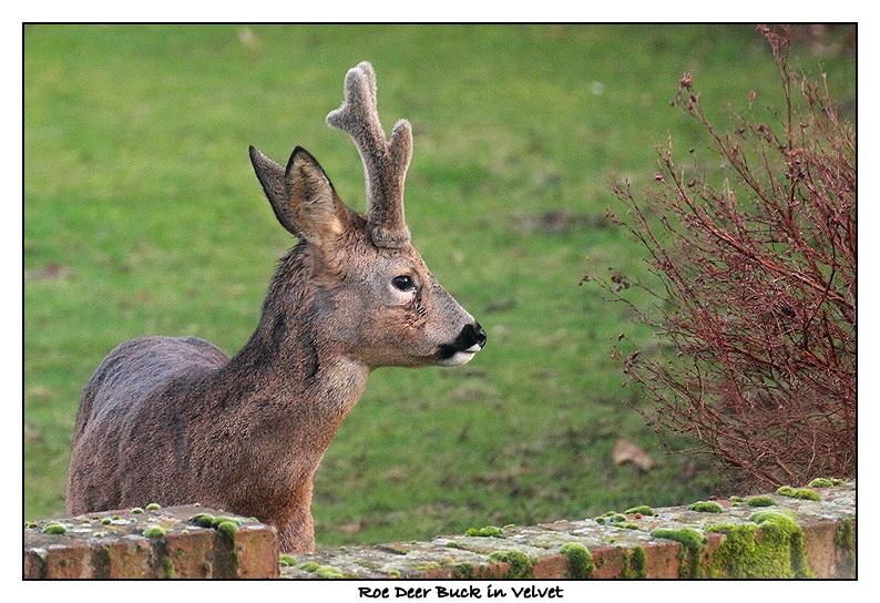 Roe Deer Buck in Velvet - Capreolus capreolus