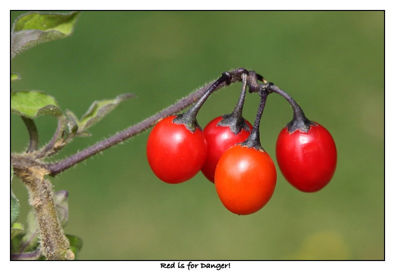 Poisonous berries of Woody Nightshade
