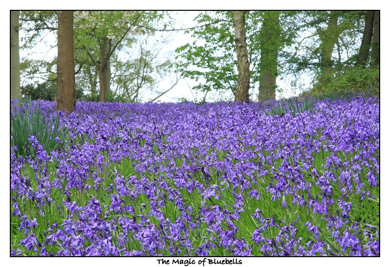 Diary of an english country garden the bluebell season english bluebells mightylinksfo