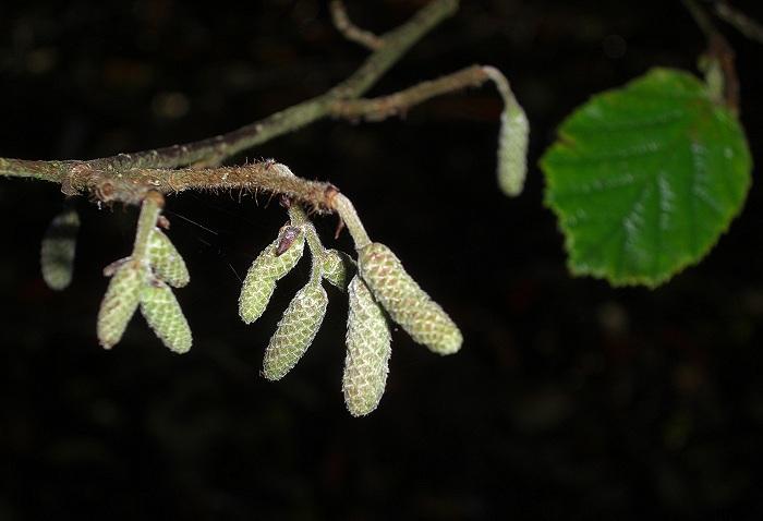 Hazel catkins - Corylus avellana