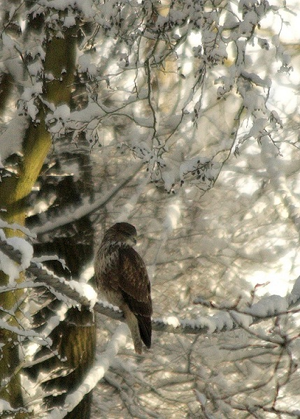 Buzzard in the snow