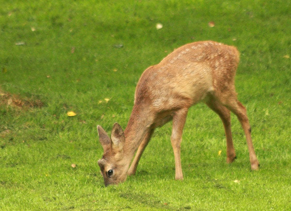 Roe Deer Kid