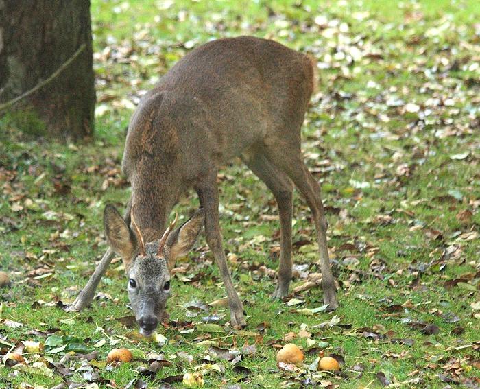 Roe deer buck - Capreolus capreolus