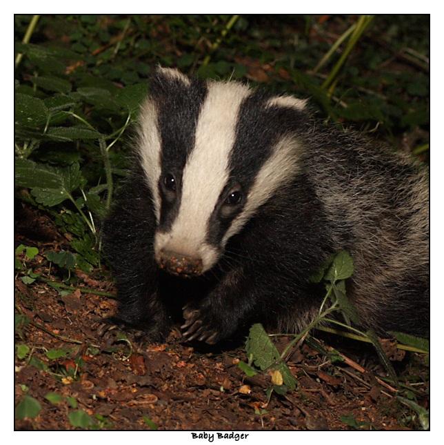 Baby Badger - 163.8KB