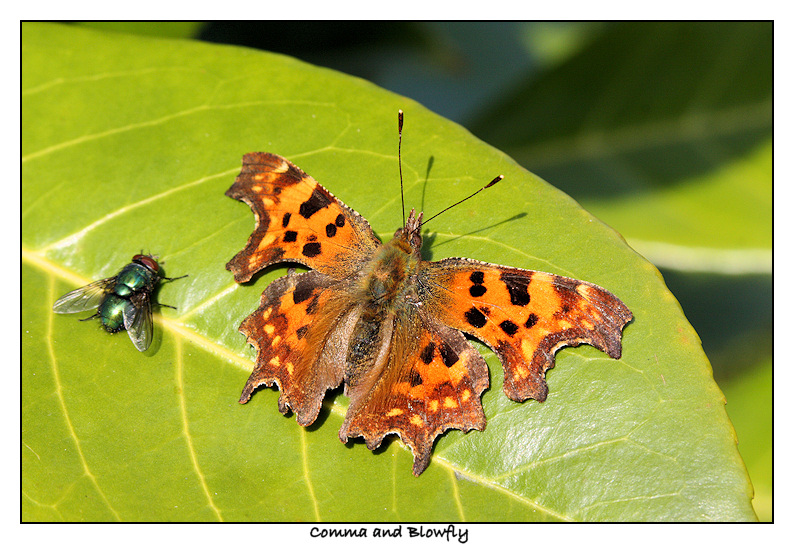 Comma and Blowfly