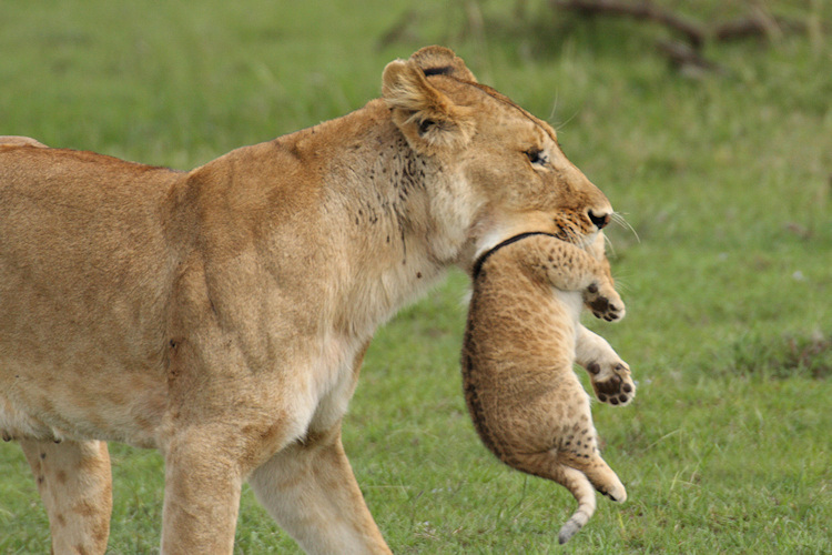 Lion carrying cub in its mouth