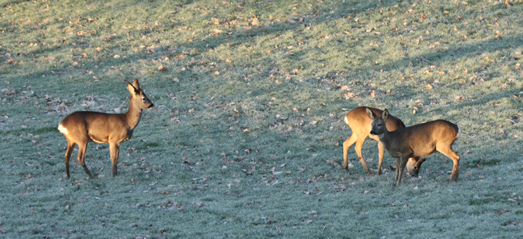Roe Deer at Sunrise