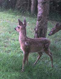 Roe deer fawn - Capreolus capreolus